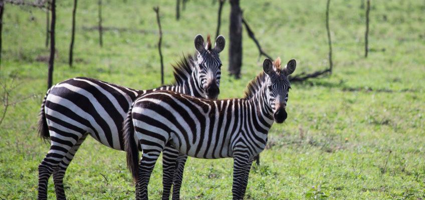 Safari i Tanzania!