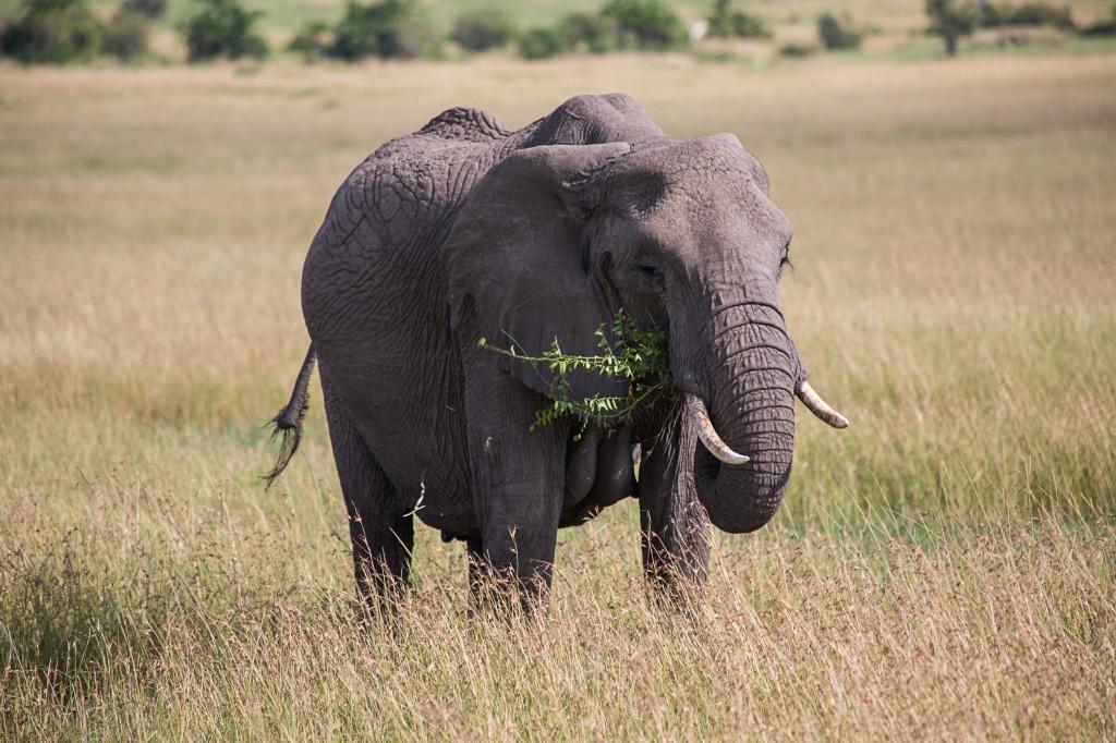 Mr Elephant