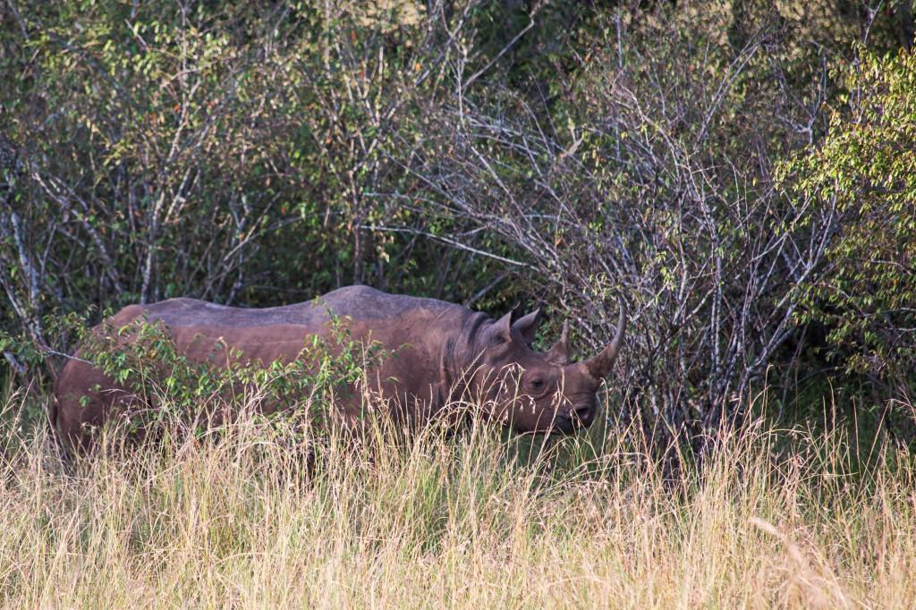 Female Rhino hiding her baby
